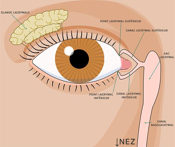 Dessin explicatif du système lacrimal